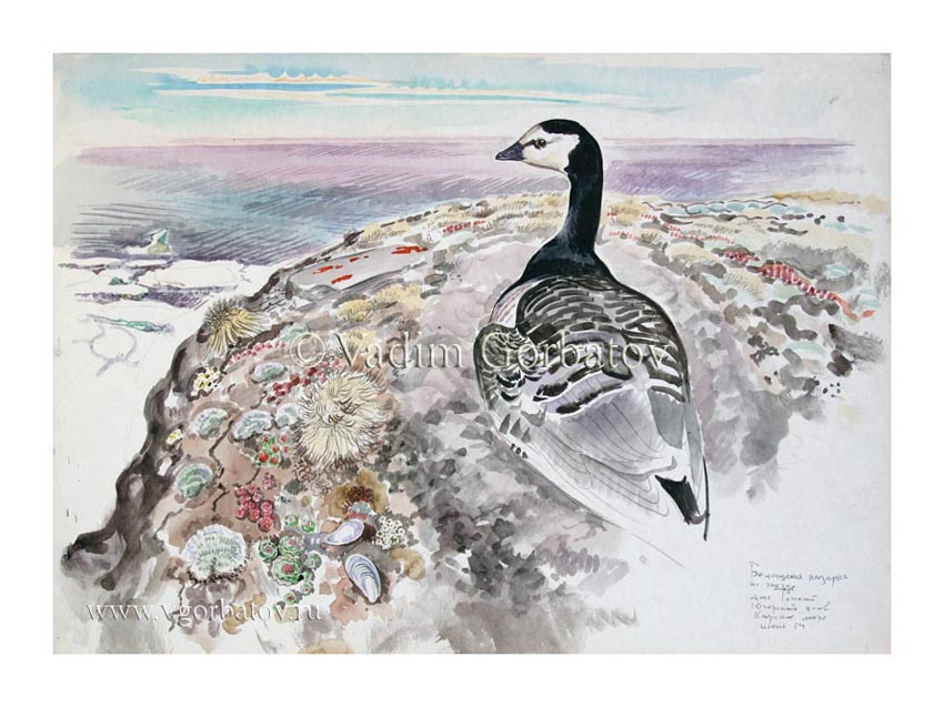 Казарка на гнезде Карское побережье Barnacle goose The Kara coast.