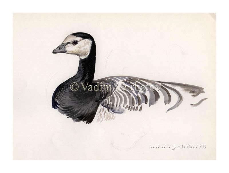 Barnacle goose Белощекая казарка Vadim Gorbatov art