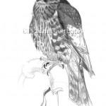 Дербник. Молодая птица