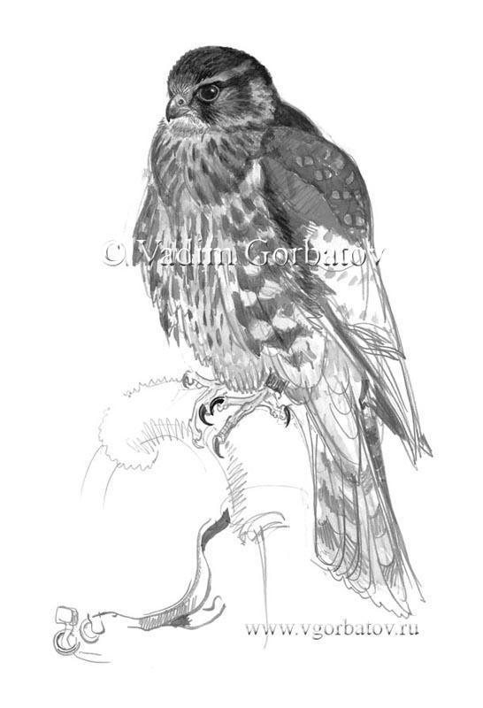 Дербник. Молодая птица. Derbnik. The merlin (Falco columbarius). Young bird