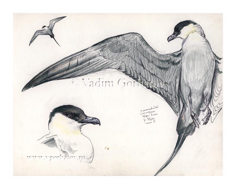 Stercorarius longicaudus Длиннохвостый поморник