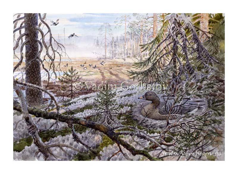 Лесной гуменник на гнезде