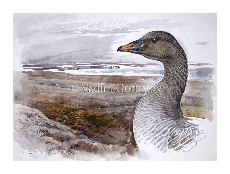 Гуменник у гнезда Bean goose near the nest