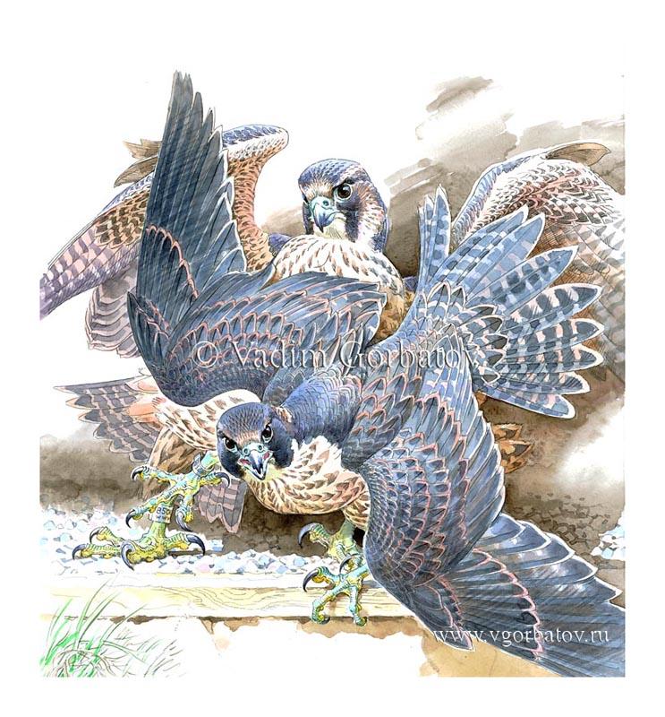 "Слетки сапсана. Иллюстрации для книги Стеси Паттерсон ""Fidget's Freedom"". The Peregrine falcons. Illustrations for the book by Stacey Patterson ""Fidget's Freedom"""