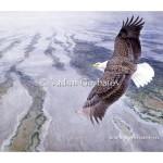 Белоголовый орлан. Дельта реки Купер. Аляска