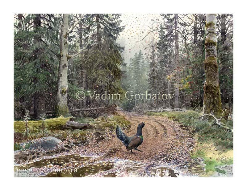 Осеннее токование. Сapercaillie. Autumn. Karelia