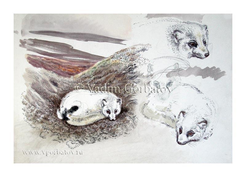 Песец Начало линьки Югорский п-ов Arctic fox Beginning of molting Ugra peninsula