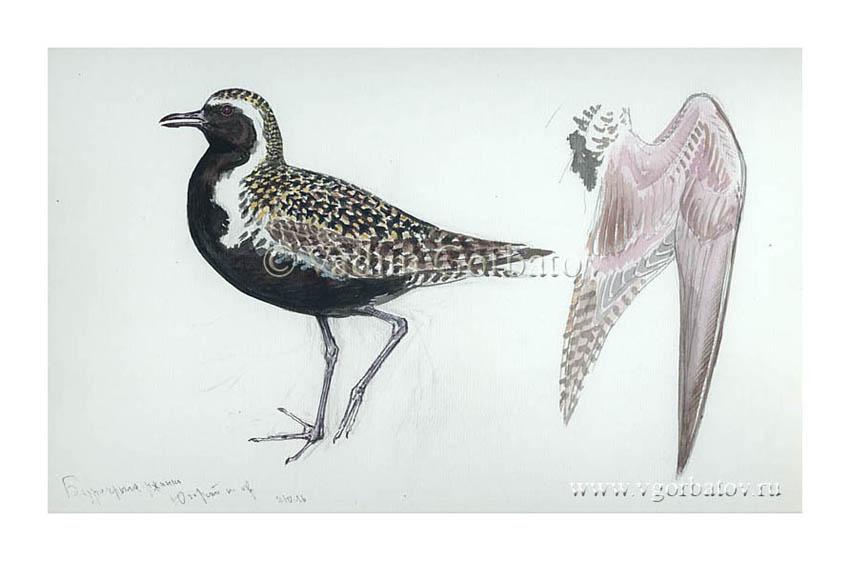 Бурокрылая ржанка Pacific golden plover Ugra Peninsula