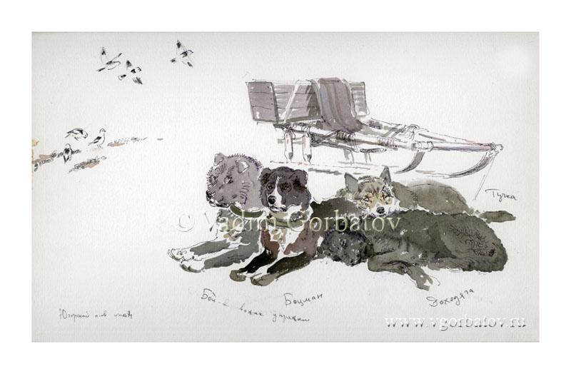 Dog sledding Собачья упряжка. Мыс Тонкий