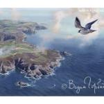 Peregrine over Sark island