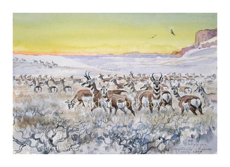 Вилороги. Вайоминг. США. The pronghorns (Antilocapra americana). Wyoming, USA