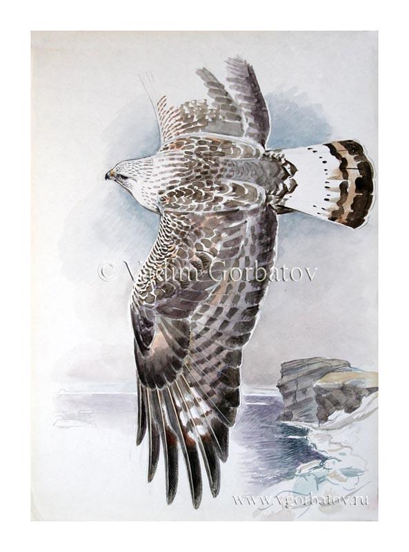 Зимняк Rough-legged hawk The Kara sea.