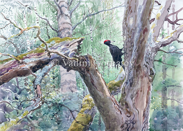 black woodpecker Fatiyanovo news